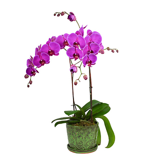 Orchid Plant Double Stem